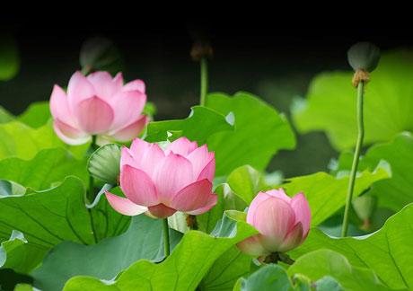 ดอกบัว คือสัญลักษณ์ของความสุขและความสบายใจ